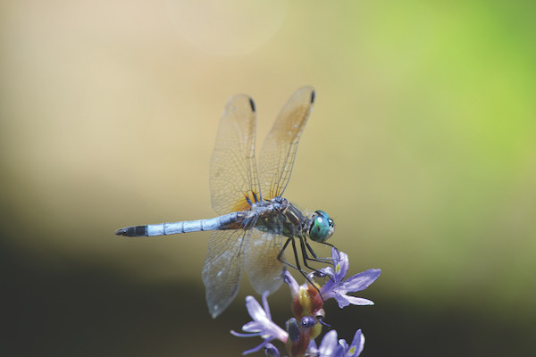 closeup of blue dragonfly with wings, green background
